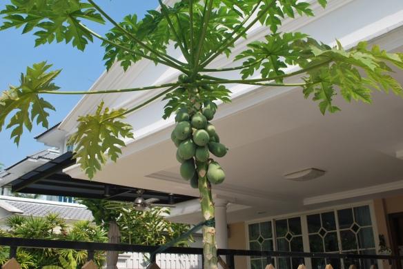 Plural Papayas